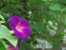 Enkel morgon Glory Flower i blom Royaltyfria Bilder