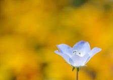 Enkel nemophila Fotografering för Bildbyråer