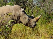 Enkel noshörning royaltyfri foto