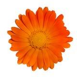 Enkel orange blomma Royaltyfri Fotografi