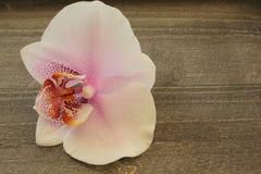 Enkel orkidéblomma Arkivbilder