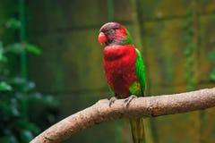 Enkel papegoja (Trichoglossushaematodus, loriuschlorocercusen) Arkivbilder