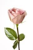 enkel pinkrose Fotografering för Bildbyråer