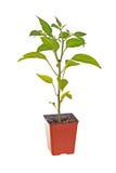 Enkel planta av en Jalapenopeppar Royaltyfria Bilder