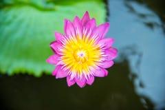 Enkel purpurfärgad lotusblomma eller näckros i pölen Royaltyfri Foto