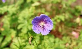 Enkel purpurfärgad pelargonmakro Royaltyfria Bilder