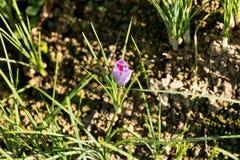 Enkel purpurfärgad saffranblomma, sativus krokus arkivfoto