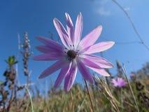 Enkel purpurfärgad tusenskönablomma mot den blåa himlen italy tuscany Royaltyfria Foton