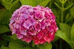 Enkel purpurfärgad vanlig hortensiablomma Arkivfoton
