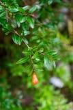 Enkel röd bärfrukt som hänger från träd arkivbild