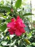 Enkel röd Bellring blomma Royaltyfria Bilder