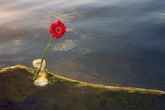 Enkel röd gerberablomma på havsroc i genomskinlig vas royaltyfri foto