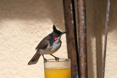 Enkel Röd-med polisonger bulbul, Pycnonotus jocosus Mauritius Arkivbilder