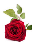 Enkel röd ros Arkivbilder