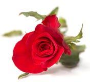 Enkel röd ros Arkivfoto