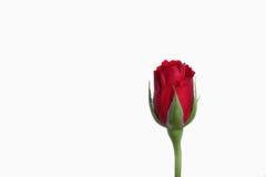 Enkel röd ros Fotografering för Bildbyråer