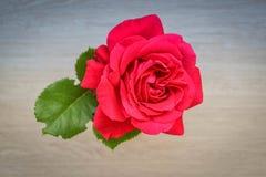 Enkel röd ros med det gröna bladet Arkivfoto