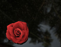 Enkel röd ros - svart bakgrund royaltyfria foton