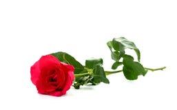 Enkel röd rosblomma på vit bakgrund Royaltyfria Foton