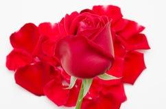 Enkel röd roshjärtaform på vit bakgrund Fotografering för Bildbyråer