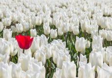 Enkel röd tulpan bland många vita tulpan Royaltyfri Foto