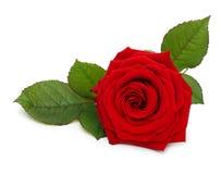 Enkel röd rosblomma med bladet Royaltyfri Fotografi