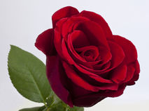 enkel redrose Royaltyfri Foto