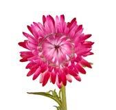 Enkel rosa blomma av en strawflower som isoleras på vit Arkivfoto