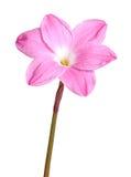 Enkel rosa blomma av en Zephyranthes cultivar som isoleras mot w Royaltyfri Foto