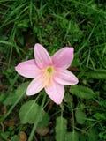 Enkel rosa färgblommabild Royaltyfria Foton