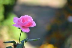 Enkel rosa färgros i en trädgård som isoleras av en härlig bokeh Arkivfoto