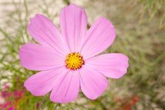 Enkel rosa kosmosblomma Arkivfoto