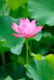 Enkel rosa lotusblomma Arkivfoto