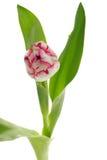 Enkel rosa och vit triumfPlaygirl tulpan Fotografering för Bildbyråer