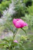 Enkel rosa pion i trädgården Royaltyfri Fotografi