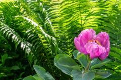 Enkel rosa pioniablomma p? oskarp gr?n ormbunkebakgrund med placeholder arkivbilder