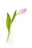 Enkel rosa tulpan i vasen som isoleras över vit Fotografering för Bildbyråer