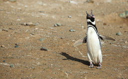 enkel skriande magellanic pingvin Arkivfoto