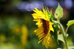 Enkel solros från sida arkivfoton