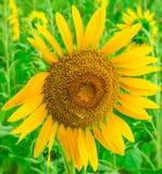 Enkel solros i fält Arkivfoto