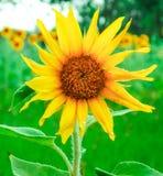 Enkel solros i fält Royaltyfri Foto
