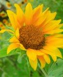 Enkel solros i fält Fotografering för Bildbyråer