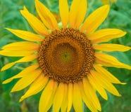 Enkel solros i fält Royaltyfri Bild