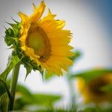 Enkel solros i fältet Arkivfoto