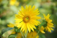 Enkel solros i solen Royaltyfri Foto