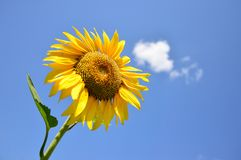 Enkel solros mot blå himmel Royaltyfri Bild