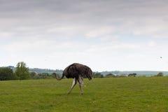 Enkel struts som promenerar ett grönt fält arkivfoton