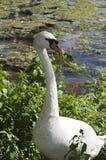 enkel swan arkivfoton