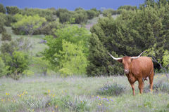 Enkel Texas longhorn Royaltyfria Foton