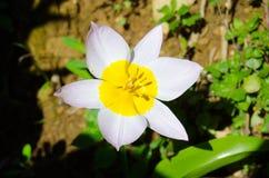 Enkel Tulip Dasystemon Tarda makro Royaltyfri Foto